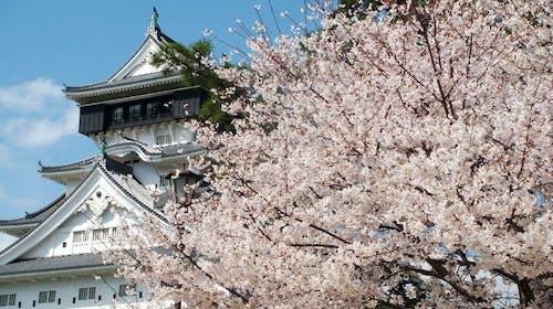 【日本花見樂】櫻花躺在歷史中,九州櫻花名所、預想日和春季美食